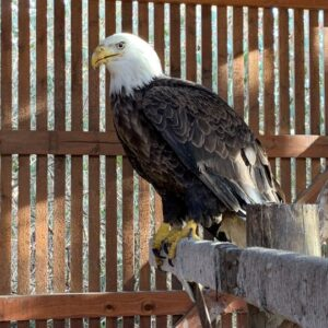 American Bald Eagle for Sale