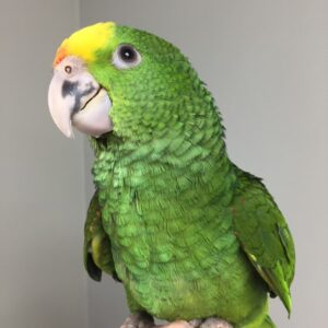 Double Yellow Head Amazon Parrot