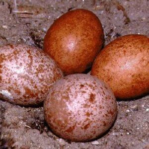 FALCON EGGS for sale