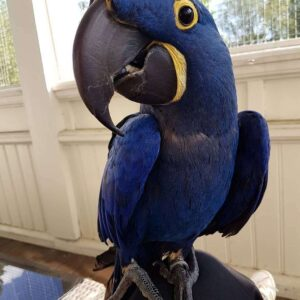 hyacinthine macaw, Hyacinth macaw for sale