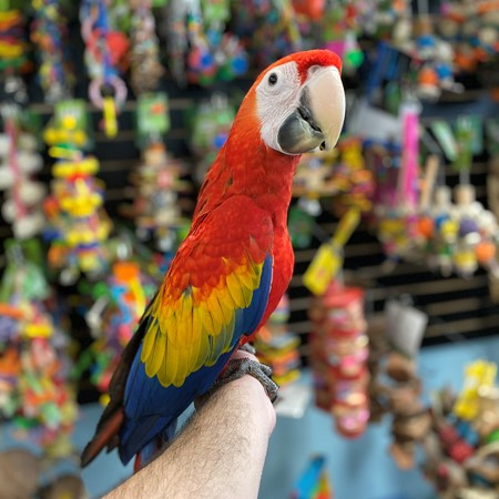 Scarlet Macaws for sale