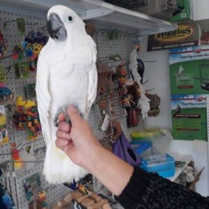 Umbrella Cockatoos for sale