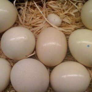 cockatoo parrot eggs for sale online