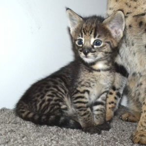 savannah-kitten for sale